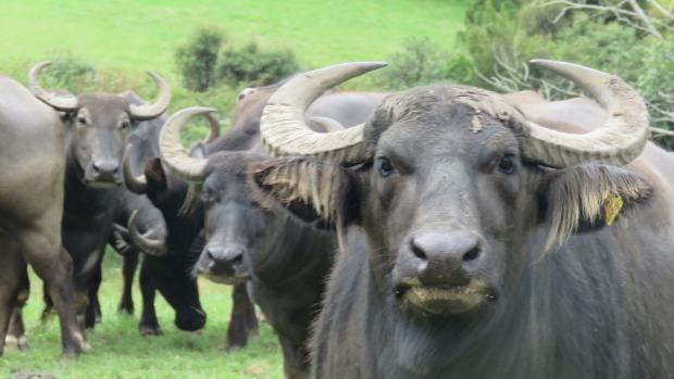 A milking buffalo at Whangaripo Buffalo farm, north Auckland.